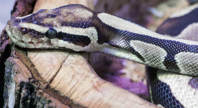 kunglig orm för pytonorm royaltyfri bild