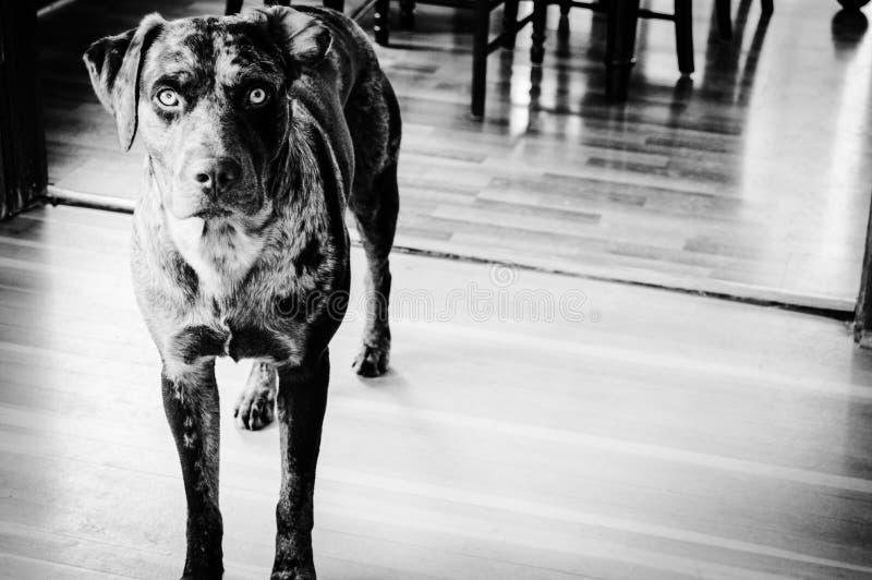 Kunglig röd hund royaltyfria bilder