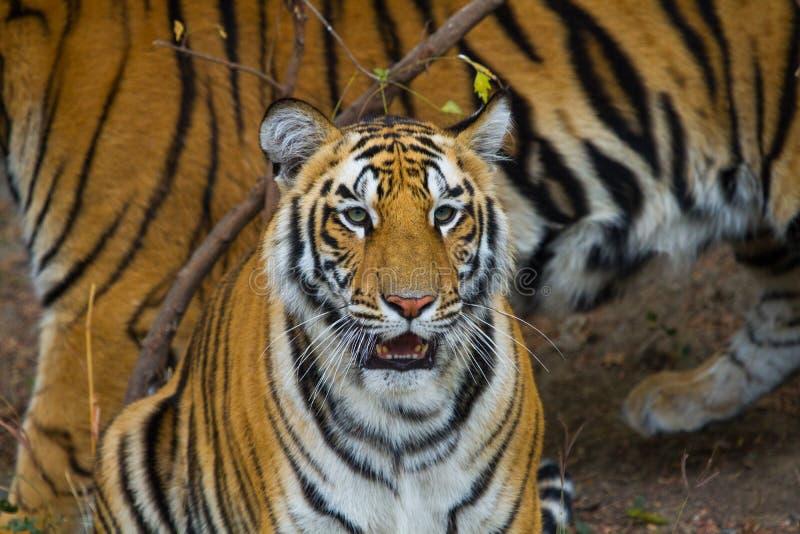 Kungliga Bengal tigrar i Indien royaltyfri bild