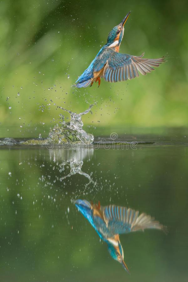Kungsfiskare arkivfoton