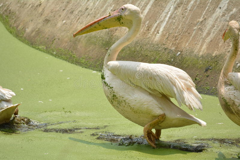 Kungsfiskaren royaltyfri fotografi