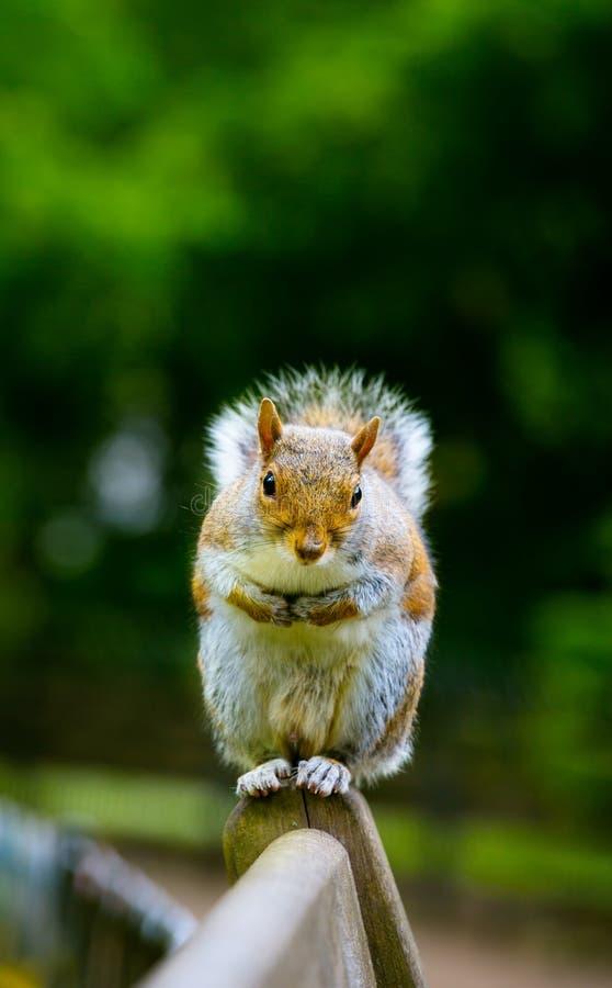 Kunsteichhörnchenerfrischungen, die auf eine Bank in Londons Hyde Pa warten lizenzfreie stockbilder