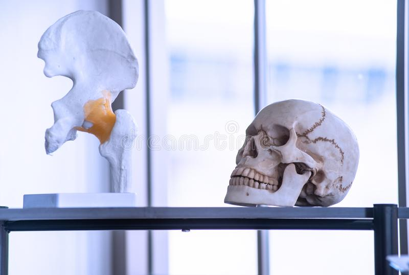 Kunstmatig skelet zoals schedel, been en tanden in universiteiten en universiteitenlaboratorium royalty-vrije stock afbeelding