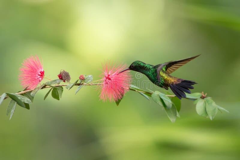 Kupfer--rumpedkolibri, der im Flug nahe bei rosa Mimosenblume, Vogel, caribean tropischer Wald, Trinidad und Tobago schwebt lizenzfreie stockfotografie