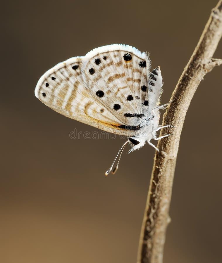Kupfer-Schmetterling stockfoto