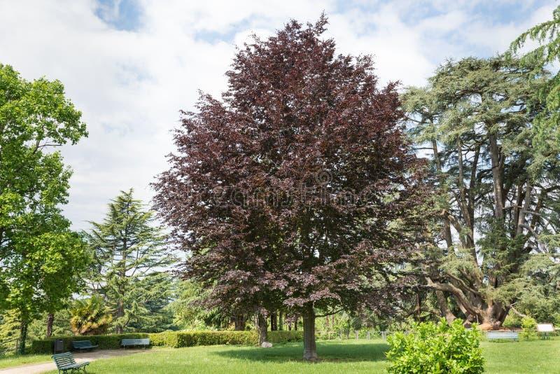 Kupferbuche - purpurrote Buche, Fagus sylvatica purpurea Dekorativer Baum stockfotos