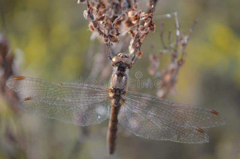 Kupferne Libelle lizenzfreies stockbild
