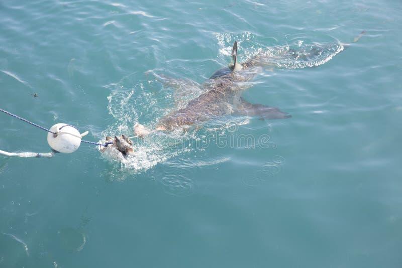Kupferner Haifisch, der Köder nahe Haifischkäfig jagt lizenzfreie stockbilder