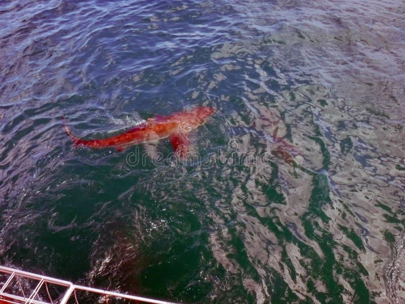 Kupferner Haifisch vor einem Käfig stockbild