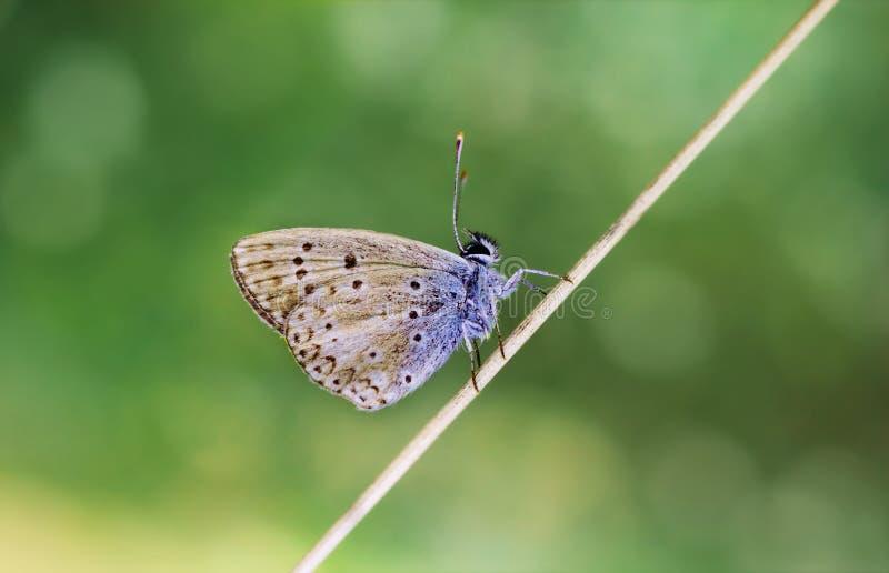 Kupferner Schmetterling, der auf einem trockenen Stamm auf einem grünen unscharfen Hintergrund sitzt An einem sonnigen Sommertag  stockbild
