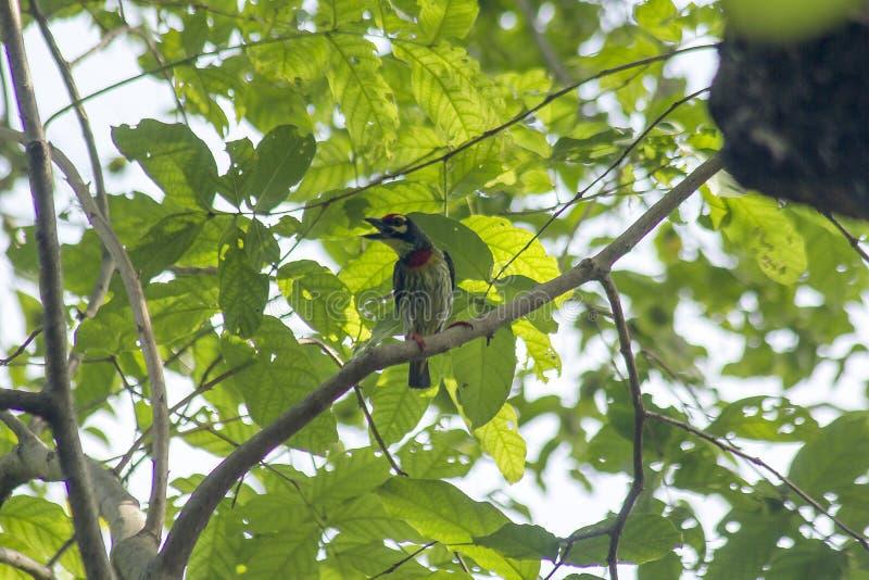 Kupferschmied Barbet ist auf den Niederlassungen in der Natur stockfotografie
