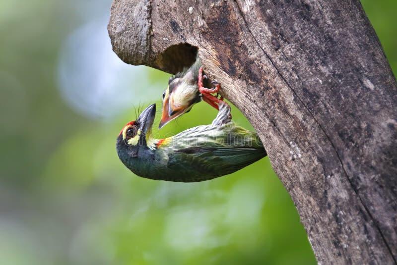 Kupferschmied-Barbet Megalaima-haemacephala Vogelbabys in der Baumhöhle stockbilder