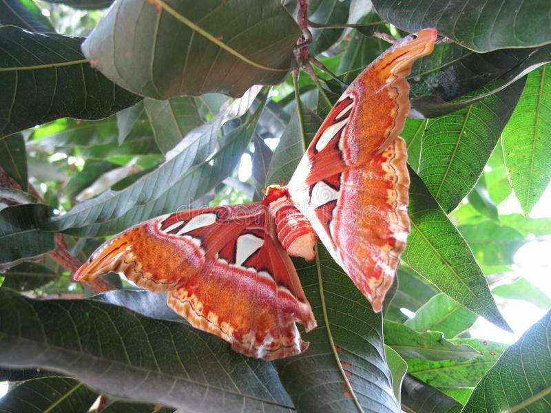 Kupu Gajah or Attacus Atlas, Brown Butterfly Perch on Trees, Rare Animals in Asia royalty free stock photos