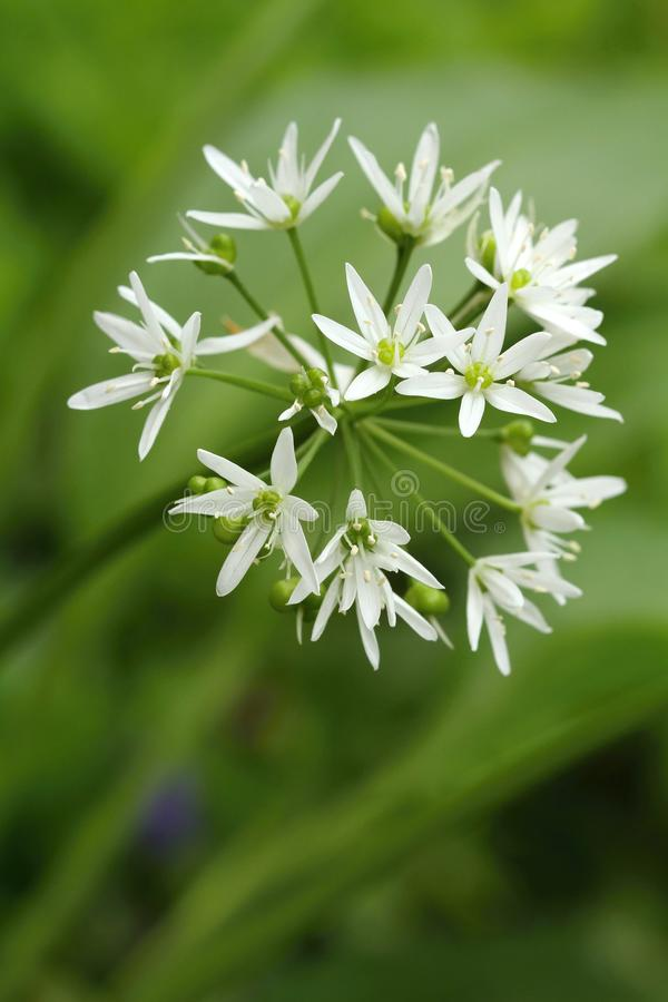 Kuracyjny Allium ursinum obraz royalty free