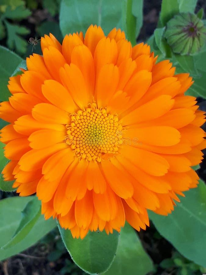 Kuracyjny słońce - Calendula obraz royalty free