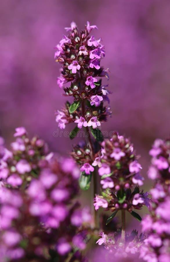 Kuracyjny Thymus vulgaris zdjęcie royalty free