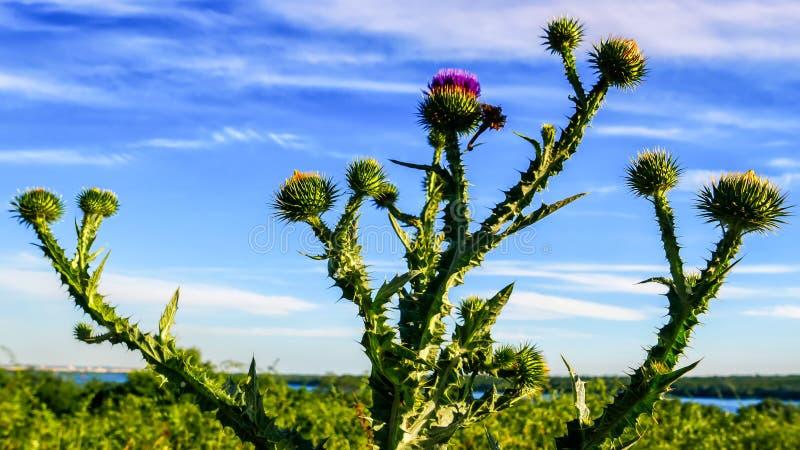 Kuracyjny ziele w kwitnącym polu przeciw pięknemu niebieskiemu niebu fotografia royalty free