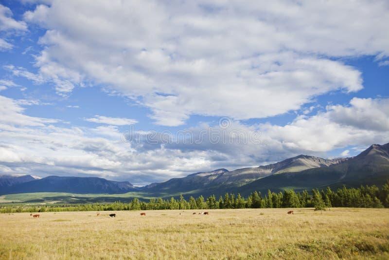 Kurai stepu krajobraz Altai republika, Rosja zdjęcie stock