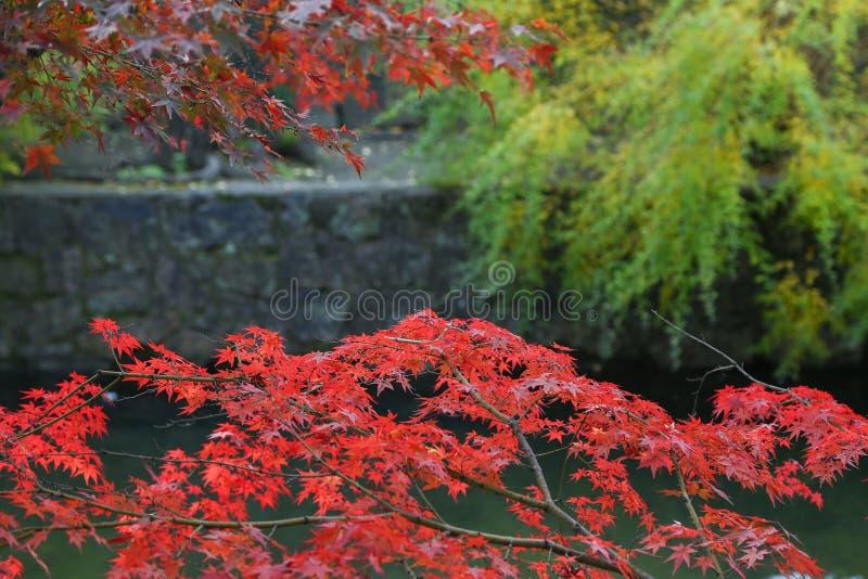 Leaves of color change in the ancient city of Edo at kurashiki, JAPAN. KURASHIKI, JAPAN - November 25 : Leaves of color change in the ancient city of Edo at royalty free stock photo