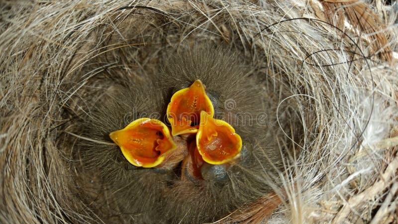 Kurczątka w gniazdeczku oczekuje jedzenie w gniazdeczku obrazy royalty free