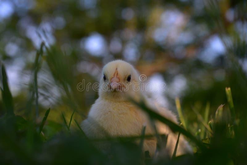 Kurczątko w trawie zdjęcie stock