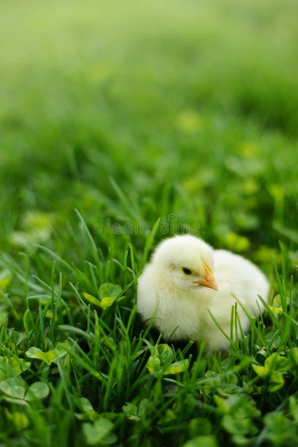 Kurczątko w Zielonej trawie zdjęcie royalty free
