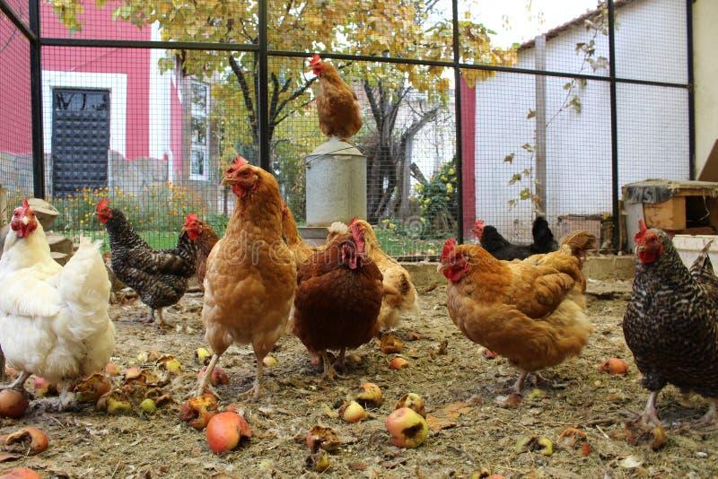 Kurczaków basterds fotografia stock