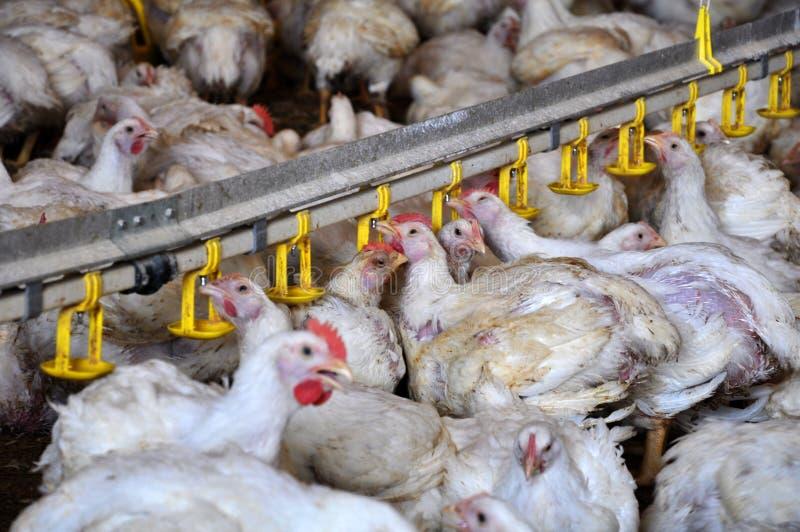 Kurczaków broilers blisko drink_14 zdjęcie stock