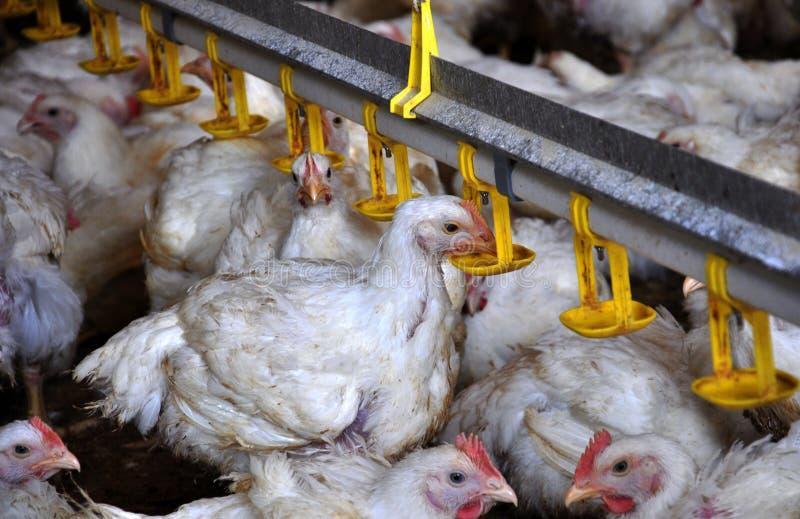 Kurczaków broilers blisko drink_6 zdjęcia stock