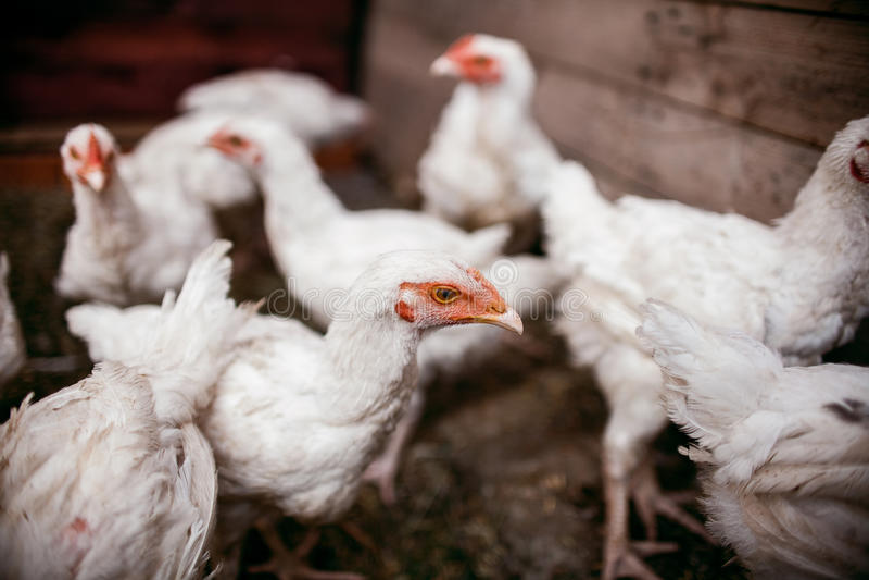 Kurczaków broilers Farma Drobiu zdjęcia royalty free