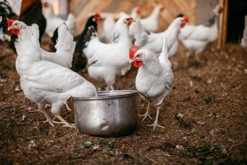 Kurczaków broilers Farma Drobiu obrazy royalty free