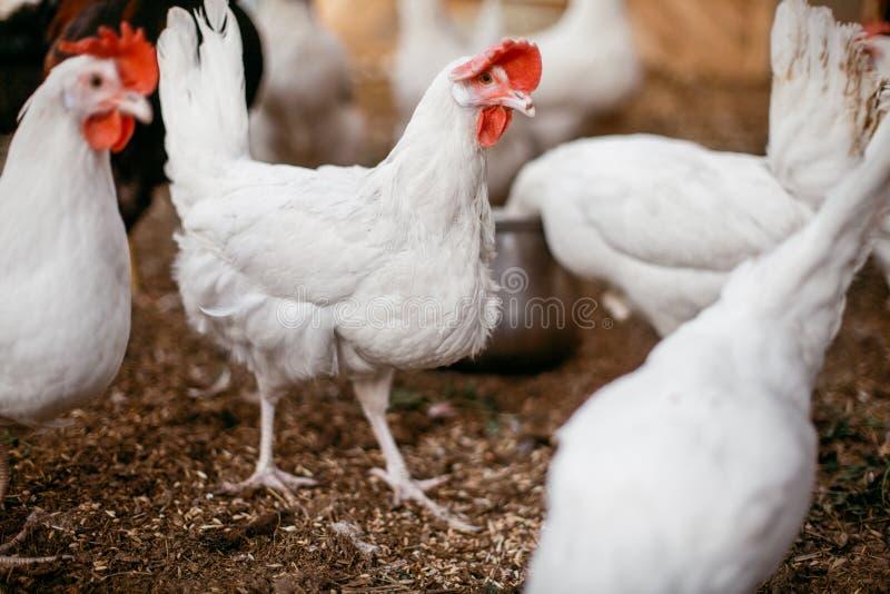 Kurczaków broilers Farma Drobiu fotografia royalty free