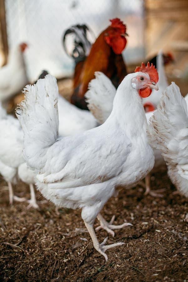 Kurczaków broilers Farma Drobiu zdjęcia stock