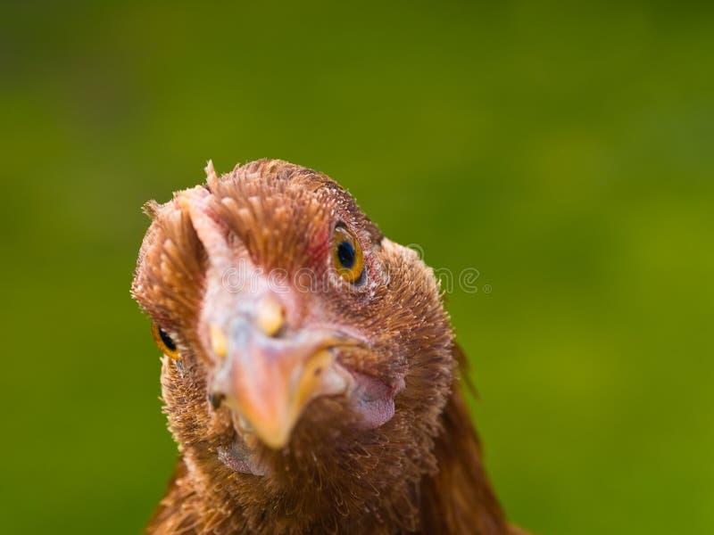 kurczaków portrety obraz stock