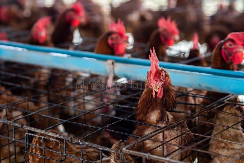 Kurczaków rozpłodniki od gospodarstwa rolnego obraz royalty free