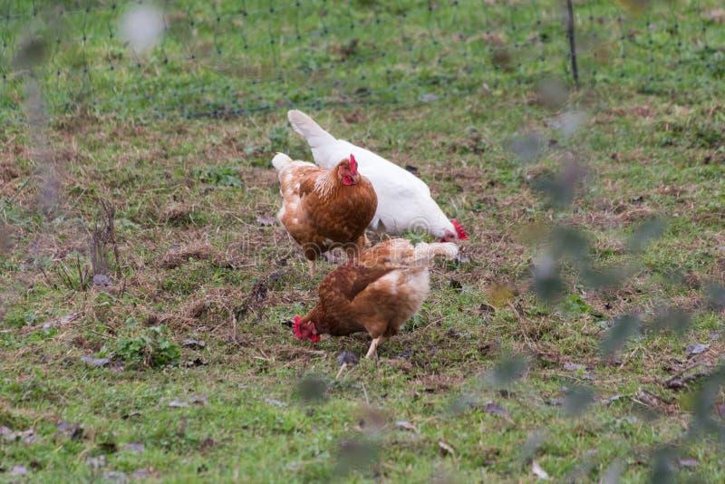 Kurczak brązowy zdjęcia royalty free