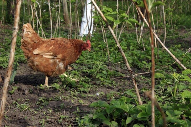 kurczak chodzi samotnie w ogródzie na zielonej trawie w ciemnopąsowym gaju obraz royalty free
