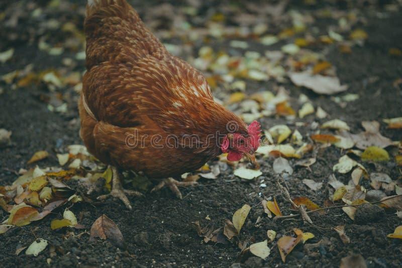 Kurczak chodzi w ogr?dzie Kurczak pasa wolno obraz royalty free