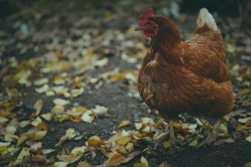 Kurczak chodzi w ogr?dzie Kurczak pasa wolno zdjęcia royalty free