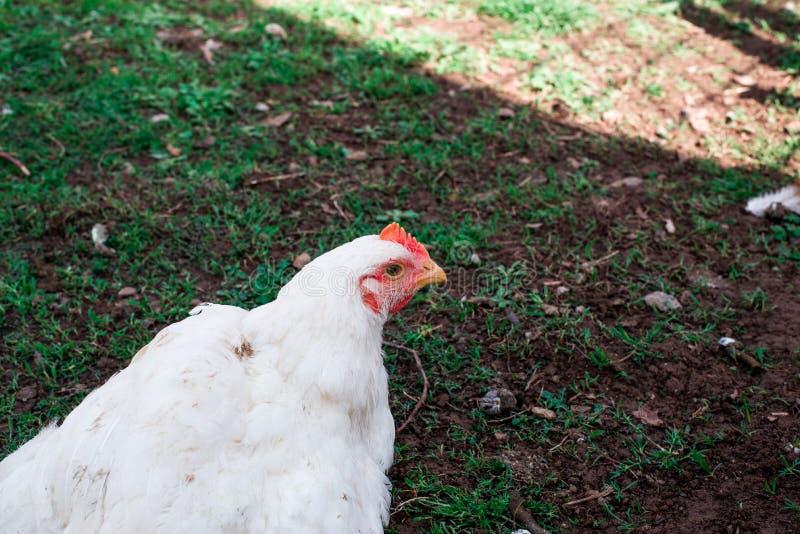 Kurczak chodzi w trawie zdjęcie royalty free