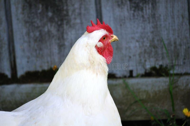 Kurczak - karmazynka zdjęcie royalty free