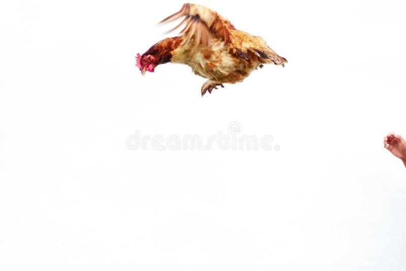 Kurczak lata na białym tle, koguta podesłanie na powietrzu fotografia stock
