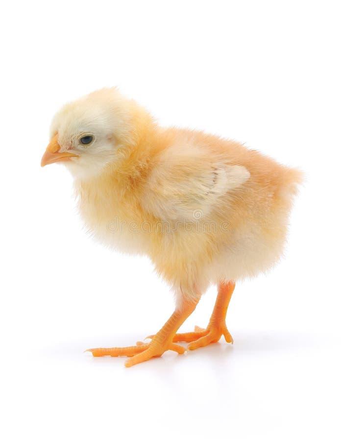 kurczak mały fotografia royalty free