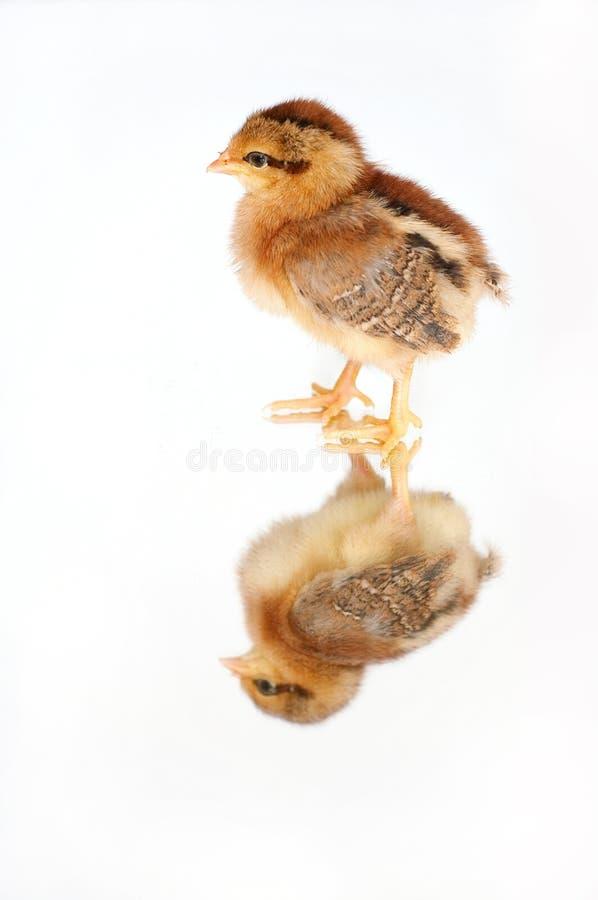 Kurczak na lustrze obrazy royalty free
