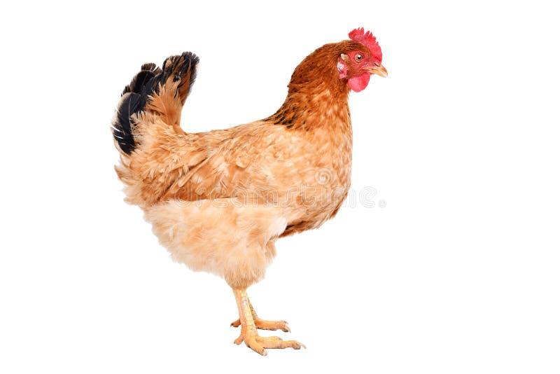 Kurczak pozycja odizolowywaj?ca zdjęcie royalty free
