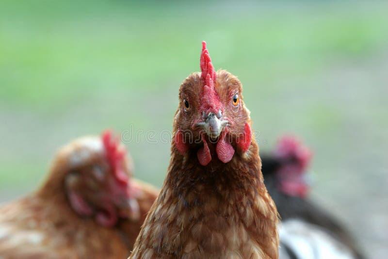 kurczak uwalnia pasmo zdjęcia stock