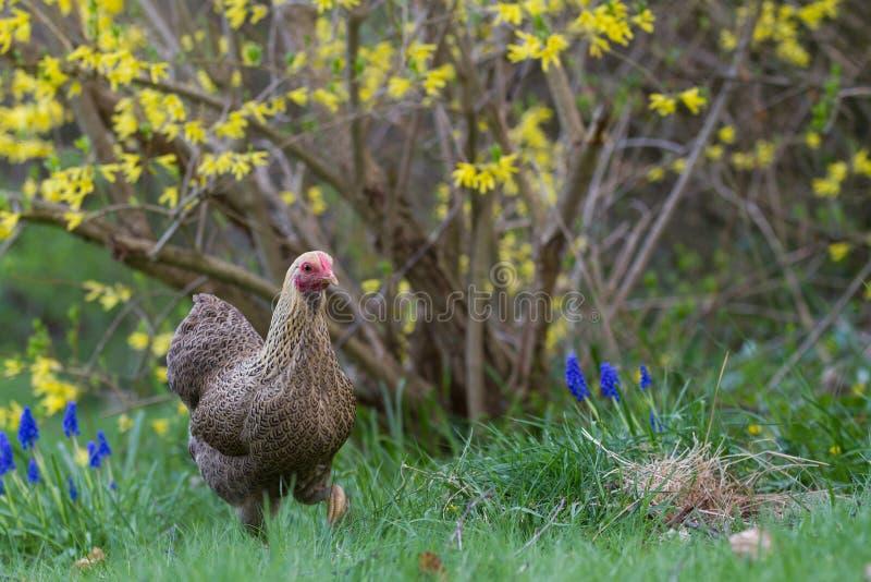 Kurczak zdjęcie stock