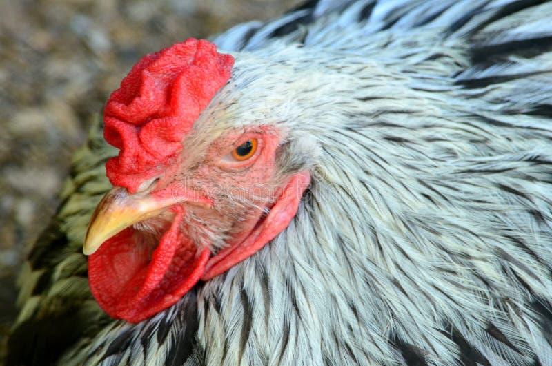 Kurczak z czerwonym grzebieniem i brodą drób zdjęcie stock