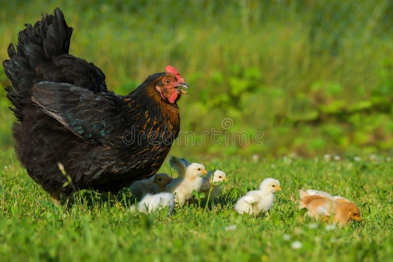 Kurczak z kurczątkami obrazy royalty free