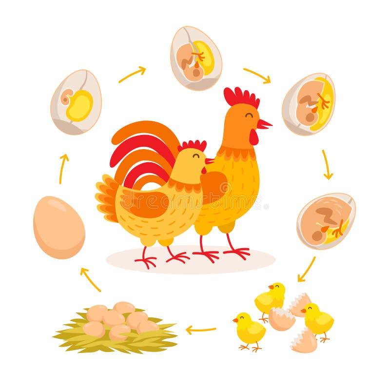 Kurczaka etap życia, płodu rozwój od jajka kluć się kurczaka Śliczna karmazynka i kogut ma dzieci kurczątek kreskówkę royalty ilustracja